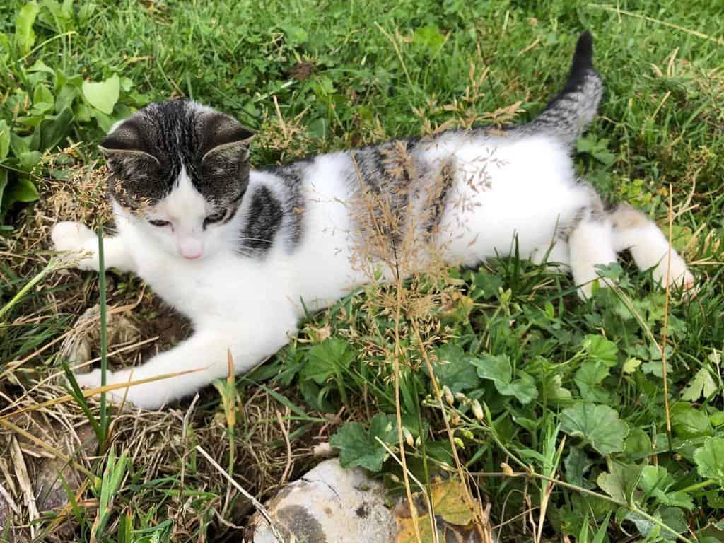 Katze Emmental